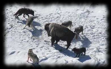 hunde jagen wolf